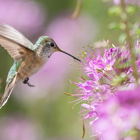 Hummingbird by Jim Talbert - Animals Birds ( bird, wings, hummingbird, colorado, fast, flower )