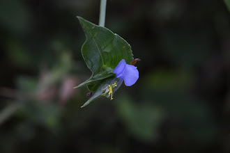 Photo: Commelina sp