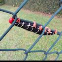 Frangipani caterpillar
