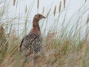 Photo: Common Pheasant (Jagsfassan); Spiekeroog, DE
