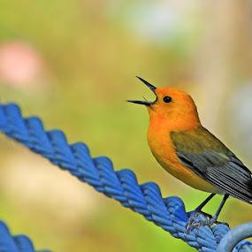 Prothonotary Warbler singing a morning tune by Shixing Wen - Animals Birds ( bird, prothonotary warbler, bird photos, birds, warbler )