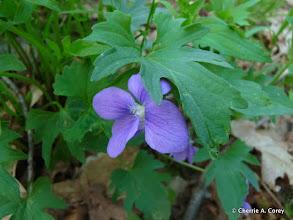 Photo: Early blue violet (Viola palmata)