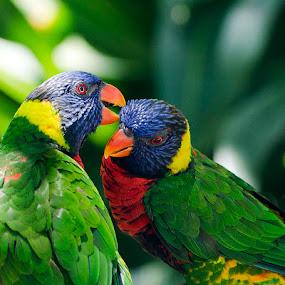 Love Birds by Christian Wicklein - Animals Birds ( lorikeets, orange, red, blue, green, yellow, rainbow, birds,  )