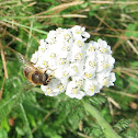 Common Yarrow (white)