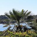 Mediterranean dwarf palm. Palmito