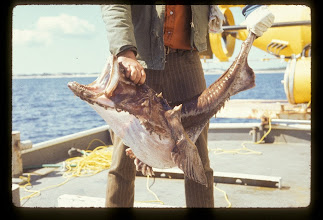 Photo: Large goosefish caught during the Perry PC-8 Mission (Photo Credit: R. Cooper/NOAA)