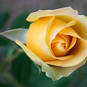 BUDS by Nihan Bayındır - Flowers Flower Buds ( rose, macro, nature, yellow, flowers,  )