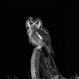 Owl by Garry Chisholm - Black & White Animals ( raptor, owl, bird of prey, nature )