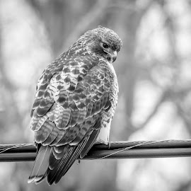 Red-Tailed Hawk by Debbie Quick - Black & White Animals ( raptor, debbie quick, hyde park, nature, debs creative images, new york, red-tailed hawk, birds of prey, outdoors, bird, animal, black and white, hawk, wild, hudson valley, wildlife )