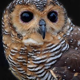 OWL by AbngFaisal Ami - Animals Birds