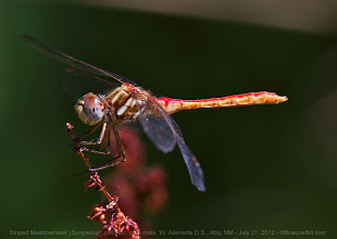 Photo: I found this Striped Meadowhawk on Saturday. Not a rare species, but the first one I'd found. There were two perched near a stagnant pond at the west end of the Alameda Bridge over the Rio Grande.  This is a pale male. From what I've read, males in wetter regions have black all along the abdomen below the red.  #odonatapoker curated by +viviane godenne +BugsEveryday #twt