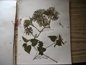 Photo: Autres végétaux trouvés et cueillis à Rectory Hill il y a 100 ans