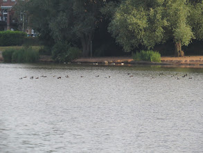 Photo: 16 Jul 13 Priorslee Flash: Here is a distant shot of 28 Tufted Duck at The Flash. 37 this morning in total. (Ed Wilson)
