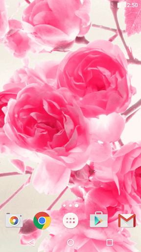 粉紅色的玫瑰動態壁紙