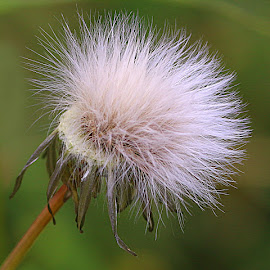 Fuzzy by Chrissie Barrow - Nature Up Close Other plants ( plant, wild, hawkweed, green, white, seeds, bokeh, seedhead )