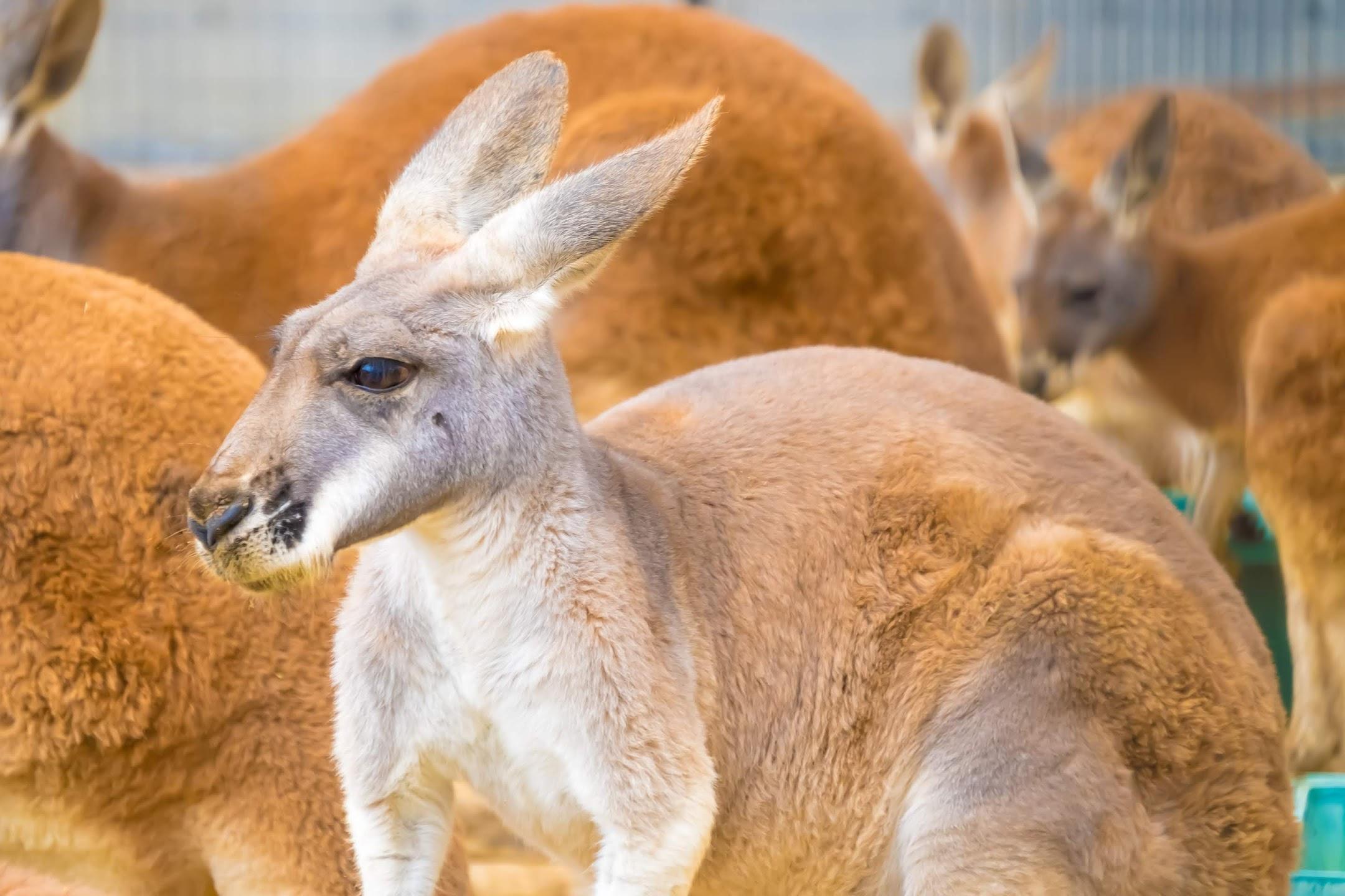 Kobe Oji Zoo Kangaroo2