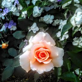 Lonely rose by Eidel Bock - Uncategorized All Uncategorized (  )