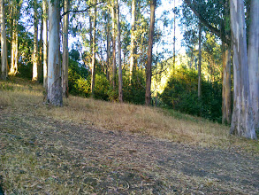 Photo: Removing all the eucalyptus trees growing with the natives would allow the native woodland to expand closer. Eventually, all the eucalyptus can be removed without denuding the landscape.