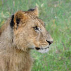 East African Lion (adolecents)