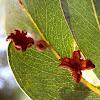 Psyllid Leaf Galls