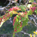 Maple Bladder-Gall Mite