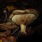 Roll-rim Mushroom
