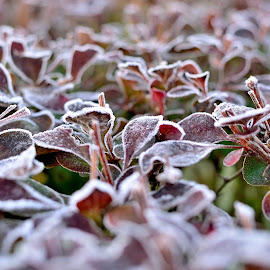 Frozen by Ciprian BP - Nature Up Close Leaves & Grasses ( up close, winter, cold, nature, frozen, leaves,  )