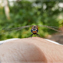 Trithemis festiva(female) 慶褐蜻(雌)