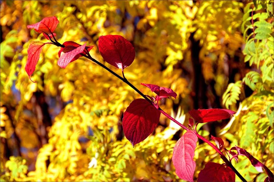 Red and yellow by Pekka-Ilari Turakainen - Nature Up Close Other plants ( foliage )