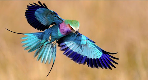 Paintbrush Birds – Lilac-breasted Roller