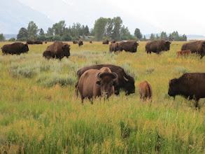 Photo: Bison!