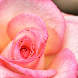 Feeling rosy by Amanda Daly - Novices Only Flowers & Plants (  )
