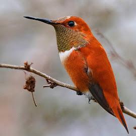 Rufuos Hummingbird by Anthony Goldman - Animals Birds ( bird, wild, hummingbird, wildlife, rufuod, valrico,  )