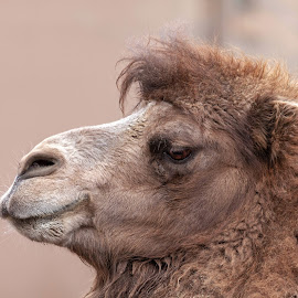 Bactrian Camel by Margie Troyer - Animals Other Mammals