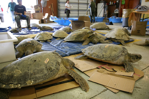 A few of the green sea turtles are seen inside the headquarters building of the Merritt Island Wildlife Refuge located on NASA's Kennedy Space Center.