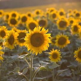 Sunflowers field by Stefan Sorean - Flowers Flowers in the Wild ( outdoor, sunrise, field, nature, yellow, sun, summer, sunflower )
