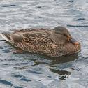 Gadwall duck female