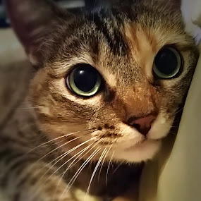 Whittle by Serenity Deliz - Animals - Cats Portraits ( cat, portrait of kitty, baby, kitty )