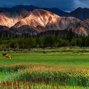 Leh Sunset  by Rulie Arifin - Landscapes Sunsets & Sunrises ( mountain, himalaya, green, cow, yellow, ladakh, landscape, nikond700, leh, sunset, cloudy, swamp, flower,  )