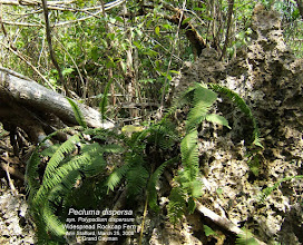Photo: Widespread Rockcap Fern - Pecluma dispersa, syn. Polypodium dispersum, Family: POLYPDIACEAE, growing on rotted branch, lying on limestone rock; Near Threatened.  http://www.itis.gov/servlet/SingleRpt/SingleRpt?search_topic=TSN&search_value=504152 Photo: Ann Stafford, Ironwood Forest, Grand Cayman, March 25, 2008. Flora of the Cayman Islands by George R. Proctor 2012, p.50 Fig.10. http://www.regionalconservation.org/ircs/database/plants/PlantPage.asp?TXCODE=Pecldisp http://efloras.org/florataxon.aspx?flora_id=1&taxon_id=233500867 Usually on limestone outcrops, occasionally epiphytic in hammocks, Florida; Mexico; West Indies; Central America; South America to s Brazil.