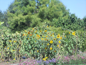 Photo: Sunflower patch in the garden.