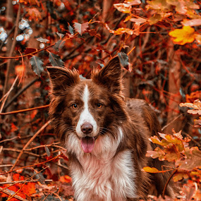 Border Collie in the woods by Thyra Schoonderwoerd - Animals - Dogs Portraits ( bordercollie, fall, woods, december, girl, dog )