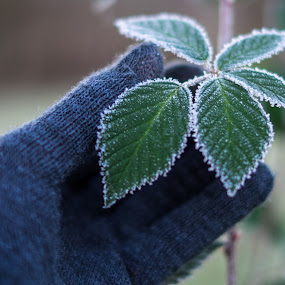 frosty leaves by Shirley Cohen - Nature Up Close Leaves & Grasses ( winter, cold, snow, frost, gloves, leaves, shrubs )