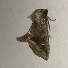 Waterlily Moth