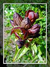 Photo: Gentiane pourpre, Gentiana purpurea