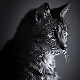 Checkers by Robert Mullen - Animals - Cats Portraits ( cats, cat, black and white, pet, checkers, pets, feline, portrait,  )