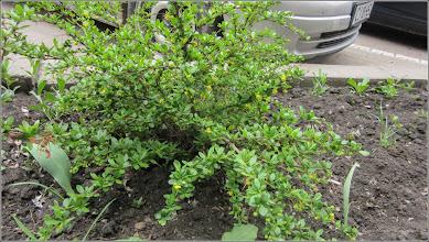 Photo: Dracila (Berberis vulgaris) - de pe Str. Libertatii - 2018.04.17