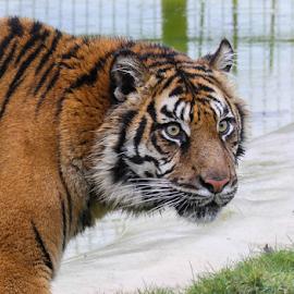 Tiger by Garry Chisholm - Animals Lions, Tigers & Big Cats ( big cat, tiger, garrychisholm, feline, mother nature )