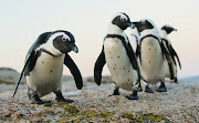 File photo of African Penguins. The endangered birds have fallen victim to avian flu in the Western Cape.