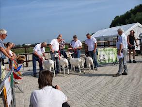 Photo: Klasse 1: witte lammeren geboren in februari 2013.  1a. Anneke 9 vd Vriendsenhof; 1b. Elke 2 vd Vriendsenhof; 1c. Janneke 6 vd Vriendsenhof; 2a. Zarra van 't Mudehof.